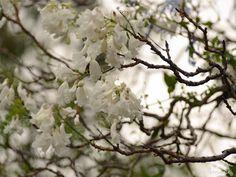 White Jacarandas, Herbert Baker Street, Groenkloof, Pretoria, (c) Florescence