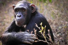 Though the hunting of endangered apes for bush meat occurs largely in Africa, the problem is an international one because what used to be subsistence hunting has now become an international, multi-million dollar industry.  Cities such as London, New York and  Toronto are hubs for bush meat sale and consumption.