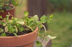 There are over a thousand different varieties of mint. Ginger mint is a cross between corn mint and spearmint. Often called slender mint or scotch mint, learn more about growing ginger mint plants in this article.