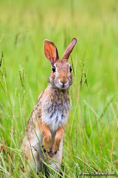 rabbit in grass - Bing images Wild Rabbit, Jack Rabbit, Rabbit Art, Woodland Creatures, Woodland Animals, Beautiful Creatures, Animals Beautiful, Animals And Pets, Cute Animals