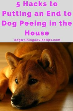 5 Tips to Putting an End to Dog Peeing in the House | Dog Training Tips | Dog Obedience Training | Dog Training Ideas | http://www.dogtrainingadvicetips.com/putting-end-dog-peeing-house
