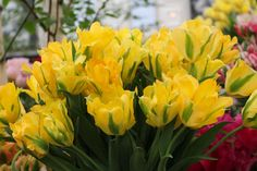 Try one of these tulips on for size.
