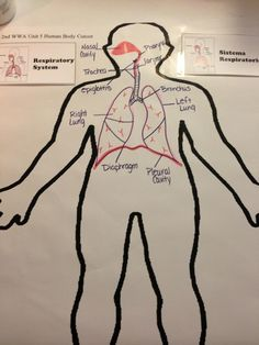 Waldorf 7th grade human physiology respiratory system age 13 respiratory systemjj ccuart Image collections