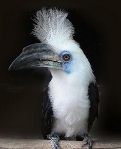 White-crowned Hornbill - Berenicornis comatusThis striking birds is a White-crowned Hornbill, Berenicornis comatus (Bucerotiformes - Bucerotidae