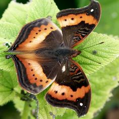 The African Leaf Butterfly (Precis tugela), also known as the Eared Commodore, is a butterfly of the Nymphalidae family. It is found in eastern and southern Africa, ranging from Ethiopia to South Africa. It is commonly included in the genus Precis instead of Junonia.
