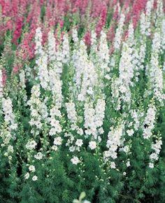 Cut Flower Garden, Pink Garden, Flower Farm, Larkspur Plant, Larkspur Flower, Dried Flowers, White Flowers, Beautiful Flowers, Cut Flowers