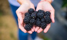 Lovely hand-picked blackberries.