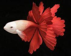 yoshimasa tsuchiya | Yoshimasa Tsuchiya - Goldfish