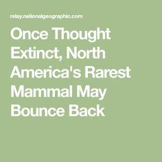 Once Thought Extinct, North America's Rarest Mammal May Bounce Back Pet Ferret, Extinct, Mammals, Things That Bounce, North America, Thoughts, Ferrets, Ferret, Ideas
