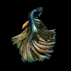 Capture the moving moment of golden copper siamese fighting fish isolated on black background. Betta fish