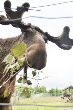 A moose in Lagan Sweden.