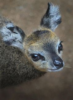 The new klipspringer calf at the San Diego Zoo is so cute she might break the Internet. Photo by Ion Moe.
