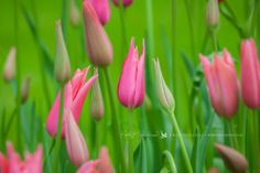 Extraordinary pink tulips on green background, Holland Katka Pruskova Photography | www.pruskova.com