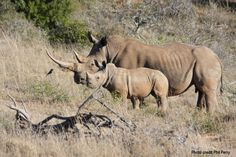 Did you know that....sniffing and snorting are the most common noises made by rhinos, especially when disturbed. Some grunting, squeaking & wailing between social groups has also been observed as forms of communication.