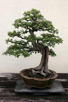 Chinese Elm (Ulmus parvifolia). In training since 1906.