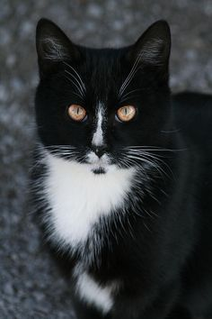 I had a cat that looked just like this when I was a teenager!   Her name was socks.