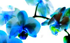 Flower Wallpaper Blue Orchid   Download Cyan Colored Orchid wallpaper 232491