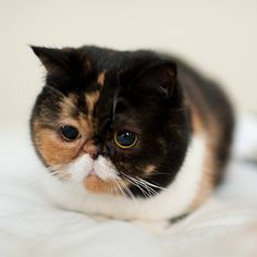 Pudge is meticulously searching for her legs. She seems to have misplaced them =ㅇㅅㅇ= Baby Animals, Funny Animals, Cute Animals, Funny Cat Faces, Funny Cats, Crazy Cat Lady, Crazy Cats, I Love Cats, Cute Cats