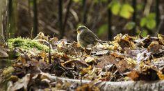 #canon7d #photography  #bird #robin #woodland #leaves