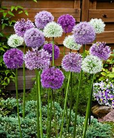 Add structure and colour with alliums.