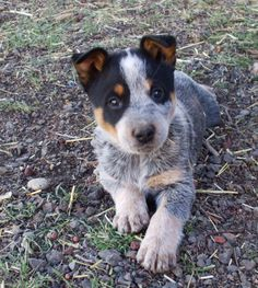 Blue Heeler puppy!  Cattle dogs rule, one of our pups.