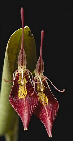 Restrepia contorta is a species of orchid endemic to western South America.