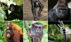Just a few of the primates listed as endangered or critically endangered by the report. Top row l-r: brown-headed spider monkey, chimpanzee, Western gorilla; Bottom row l-r: Bornean orangutan, Siau Island tarsier, ring-tailed lemur. Bornean Orangutan, Chimpanzee, World Animal Protection, Extinct Animals, Animal Facts, Primates, Endangered Species, Animal Rescue, Wildlife