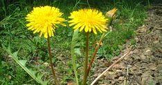 5 malas hierbas que tienes que dejar crecer a sus anchas