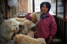 Η συνταξιούχος που αγοράζει σκυλιά για να τα σώσει από τη σφαγή στο «Φεστιβάλ Σκυλίσιου Κρέατος» της Κίνας! (Εικόνες, Βίντεο)