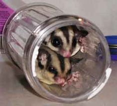 Two sugar gliders in a sugar jar.  Your argument is invalid.