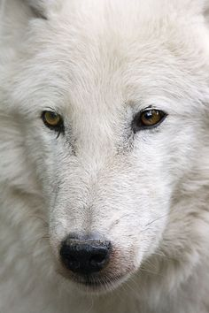 ☀White Wolf by sparky2000 *