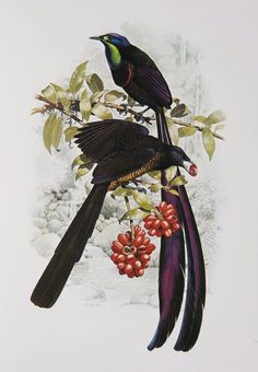 http://australianmuseum.net.au/william-t-coopers-birds-of-paradise?page=2&assetID= Stephanie's Astrapia