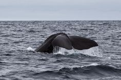 Sperm Whale, Norway, Lofoten Wale, Lofoten, Norway, Animals, Places To Travel, Travel, Animais, Animales, Animaux