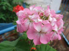 Gerânio rosa (Pelargonium sp.)