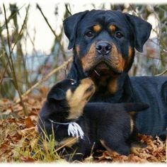 """Discover even more info on """"rottweiler pup"""". Look into our site. Rottweiler Breed, Rottweiler Love, Cute Puppies, Cute Dogs, Dogs And Puppies, Doggies, Chihuahua Dogs, Big Dogs, I Love Dogs"""