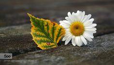 Leaf and daisy by Tinx. Please Like http://fb.me/go4photos and Follow @go4fotos Thank You. :-)