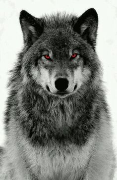 When genetics go bad and a hybrid of man and wolf is created Artwork Lobo, Wolf Artwork, Wolf Tattoo Design, Wolf Photos, Wolf Pictures, Wolf Love, Wolf Tattoos, Fish Tattoos, Shadow Wolf