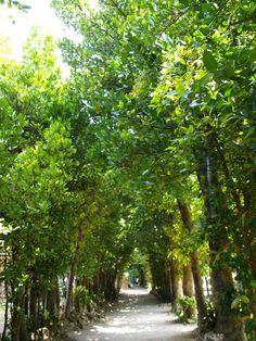 沖縄本島、本部町のフクギ並木,The Common garcinia roadside trees of a main Okinawa island and Motobu-cho