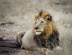 """""""It's Good To Be King"""" The Golden Mane Majingilane lion rests peacefully as being king is good! He is often seen in the Sabi Sands region of South Africa. He is one of four brothers who maintain their current territory in this Sabi Sands region.  """"It's Good To Be King"""" © by Christy Cox Photography - the beauty of nature"""