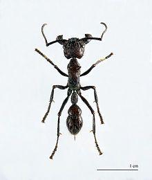 Paraponera clavata - Wikipedia, the free encyclopedia
