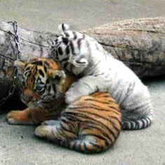 Baby orange and white tigers playing together