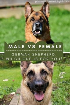 In this we are compare the German shepherds based on their gender and thus the related differences that they can create. but both will equally guard and protect your house and will prove to be adorable.#germanshepherd #germanshepherddogs #germanshepherdbreeds #germanshepherdmalevsfemale. Female German Shepherd, German Shepherd Training, German Shepherd Breeds, German Shepherds, Dog Comparison, Best Friends, Gender, Create, House