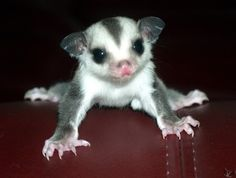 One day I'll have a sugar glider! Maybe I'll get one for Christmas ;-)