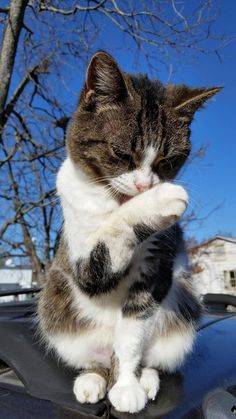 Cats are notorious for being neat and clean. They groom themselves quite often. In fact, on average, cats clean themselves during half of their waking hours. Funny Cats And Dogs, Cute Cats And Kittens, Kittens Cutest, Animals And Pets, Baby Animals, Cute Animals, Image Chat, Cute Kitten Gif, Neko