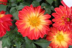 Want to know what garden stores will be stocking next year? Check out this hot-off-the-presses gallery of 59 Ball Horticultural new introductions that debuted at this yea                ... See Morer's California Spring Trials.                     See Less