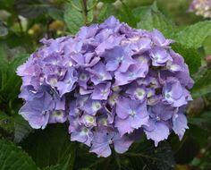 Lilac Blue Hydrangea