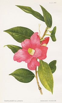 William Curtis Botanical Prints from Curtis Botanical Magazine 1948 and After