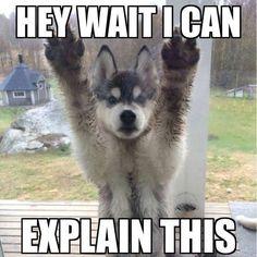 Pomeranian Chihuahua Mix, Cute Husky Puppies, Husky Mix, Husky Puppy, Huskies Puppies, Small Pomeranian, Puppies Tips, Funny Husky Meme, Siberian Huskies