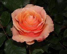 Rose Carpe Diem - Standard Rose - Roses - Flowers by category 100 Roses, Bulk Roses, Different Flowers, Large Flowers, Carpe Diem, Ecuadorian Roses, Flower Identification, Rose Varieties, Rose Stem