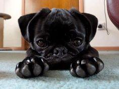 Adorable black baby pug